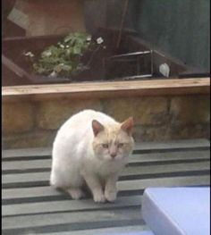 This cat has been popping up in a garden in Devizes, Wiltshire. He has been staying there and the finders have been feeding him for the past couple of weeks. If his owner doesn't come forward soon the finders will be taking him to the Cat Rescue.