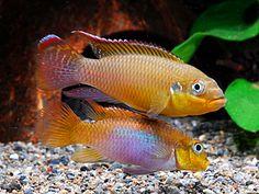 Pelvicachromis taeniatus Lobe