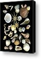 Nice Seashell Canvas By dale H.