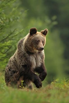 The brown bear is a large bear distributed across much of northern Eurasia and North America. Adult bears generally weigh between 100 and 635 kg. Wikipedia