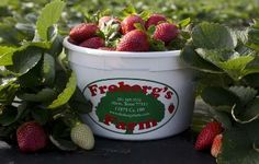 Pick fresh strawberries at Froberg's