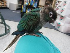turquoise green cheek conure price | Turquoise Green Cheek Conure by ~koshplappit on deviantART