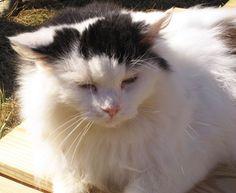 Rikki's Refuge Cats #224 www.rikkisrefuge.org  MR. MISTER!
