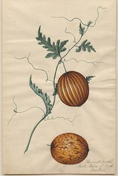Original Title: Sweet Scented Small Melon (ca. Source: Pope Brown Collection of South Carolina Natural History. Vintage Prints, Vintage Botanical Prints, Botanical Drawings, Antique Prints, Botanical Art, Vegetable Illustration, Science Illustration, Plant Illustration, Botanical Illustration