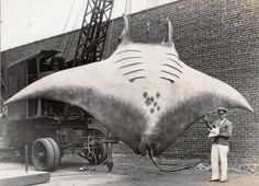 5,000 pound great manta caught in 1933, New Jersey