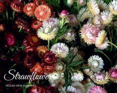 Strawflower - Ocean View Flowers