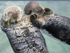 Sea otters sleep holding hands with their mate so they dont float away from eachother ♥
