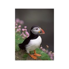 Puffin Portrait, Great Saltee Is, Ireland Photographic Wall Art Print ($40) ❤ liked on Polyvore featuring home, home decor, wall art, photography wall art, bird home decor, animal wall art, mounted wall art and bird wall art