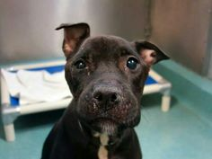 TO BE DESTROYED 9/24/14 Brooklyn Center  ***NEW PHOTO***  My name is ASHTON. My Animal ID # is A1014530. I am a female black and white pit bull mix. The shelter thinks I am about 8 YEARS old.  **$150 DONATION to the NEW HOPE RESCUE that pulls!!** https://m.facebook.com/photo.php?fbid=875346422478238&id=152876678058553&set=a.611290788883804.1073741851.152876678058553&source=49&ref=stream