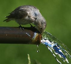 Tiny bird getting a drink