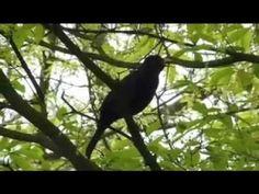 Sing like a Blackbird