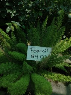Foxtail. Deep down south 228th