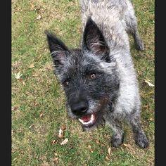 #Duke #Hollandseherder #Herder #dogs #dog #cute #welpe #10month #der_dukie  #holländischerschäferhund #dogsofinstagramsg #dogsofinstagram #workingdog #dutchshepard #friends #dogtraining #Hollandseherder #herdershond #doglife #dogs #meinkleinerwolf