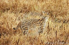 African Serval Cat by Carla Mitchell, via Dreamstime