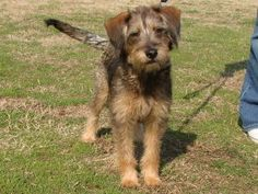 The Border Terrier mix I want to adopt. Alas, I can't have any more dogs. :(