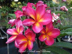 "PLUMERIA /""RUNGSIRICHOK/"" Fragrant Flower Frangipani 12/""-18/"" plant"
