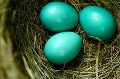 Robin Eggs by Paul Octavious