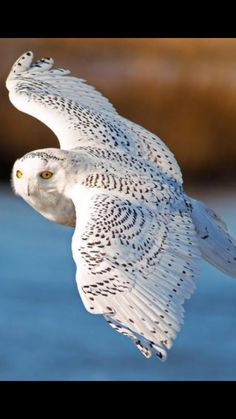 My favorite,the snowy owl