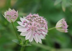 Astrantia 'Buckland' - Dusty pink flowers, are surrounded by broad, silvery white bracts, which have attractive green veining and tips. It often comes into bloom earlier than many of the other cultivars, but as the flowers are sterile it will never become a nuisance. The flower heads make delightful additions to fresh cut arrangements and last well when dried.
