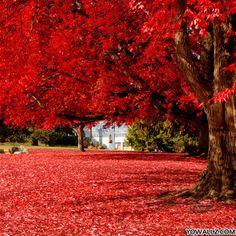 Brilliant Red, Olympia, Washington
