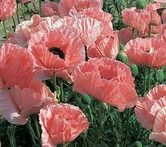 Papaver orientale Helen Elizabeth, which is my name!  I've always wanted this in my garden.  Maybe this year...