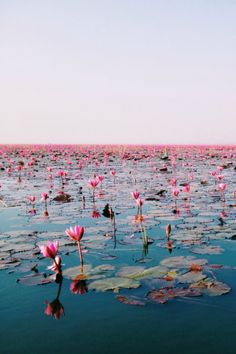 Water lily, Udonthani, Thailand by KWANCHAN
