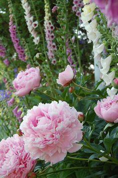 "From a Finnish blog ""Marian koti ja puutarha"": Paeonia lactiflora 'Sarah Bernhardt' with Digitalis purpurea."
