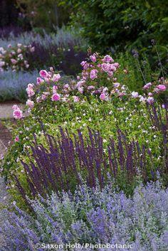 Garden retreat rose darcey bussell rose munstead wood for Perennial wood