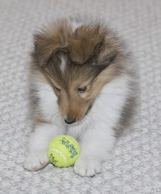 shetland sheepdog (can't wait to get mine in August!)