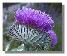 Thistle Drawing | thistle cultivated these days. This one is a variety of woolly thistle ...
