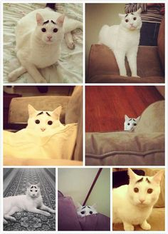 sam, the cat with eyebrows :3