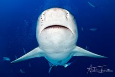 Face to face - Bull shark coming to you in the blue ocean background