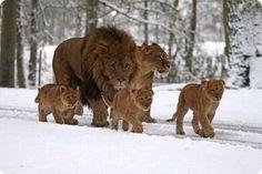 lion male female cub snow #BigCatFamily