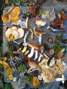 """Fungi of Saskatchewan"". Sampling of fungi collected from summer, 2008 foray in Northern Saskatchewan mixed woods, near LaRonge. Wild Mushrooms, Stuffed Mushrooms, Garden Mushrooms, Growing Mushrooms, Chinese Mushrooms, Poisonous Mushrooms, Edible Mushrooms, Mushroom Hunting, Mushroom Fungi"