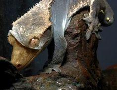 Unwrapping himself Rhacodactylus ciliatus  #animal #unwrapping #rhacodactylus #ciliatus #photography