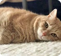 Brooklyn, NY - Domestic Shorthair. Meet Ollie the Gentle, Great Ginger, a cat for adoption. http://www.adoptapet.com/pet/16376881-brooklyn-new-york-cat