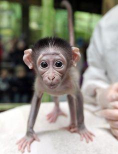 Baby Monkey - he looks like an intelligent little old man!