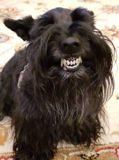 Alrigjt who did that? Puppies And Kitties, Doggies, Funny Animal Pictures, Dog Pictures, Terrier Dogs, Scottish Terrier Puppy, Animals And Pets, Cute Animals, Super Cute Dogs