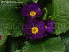 English Primrose 'Danova Mix' (Primula vulgaris)