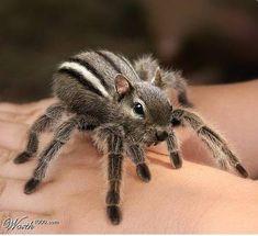 Spidersquirrel