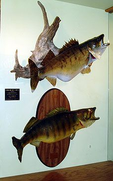 Walleye, love to have them on my wall.