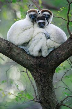 Sifaka Lemurs of Madagascar, Indian Ocean. Travel to Madagascar with ISLAND… Nature Animals, Animals And Pets, Baby Animals, Funny Animals, Cute Animals, Strange Animals, Wildlife Nature, Wild Animals, Primates