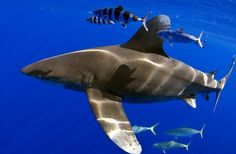 Oceanic Whitetip Shark - This is also called the Carcharhinus longimanus. Other names have been associated with the shark such as Brown Miller's sand bar shark, nigano shark, brown shark, oceanic white-tipped whaler and much more.