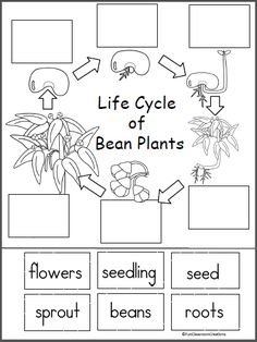 Life Cycle Of A Bean Plant Free Printable This page comes from my Bugs And Gardens Spring Unit