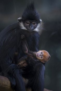 There's a new standout in the Sun Bear Forest. This little Francois langur monkey has stolen our hearts.
