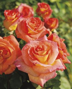 "Mardi Gras Floribunda Rose  Disease Resistance: Very good Flower Color: Blended blushed yellow, orange & pink Fragrance: Mild peppery Bud Form: Ovoid & pointed Flower Form: Well-formed, double Flower Size: Medium-large, 3-3½"" diameter Petal Count: Around 25 Stem Length: Medium-long, in clusters Plant Habit: Tall, bushy Growth Habit: Upright Foliage Color: Deep green, dark red new shoots Hybridizer: Zary—2008 Parentage: Seedling x Singin' In The Rain Cultivar: JACfrain Patent #: 9,571"