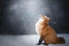 "te5seract: "" Red Fox Winter Portrait, Freya The Fox & Feeling the Winter by Alicja Zmysłowska """
