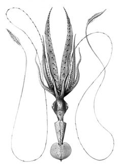 Chiroteuthis veranyi (Long-armed squid) as seen from below. Illustration by Ernst Haeckel, 1904.
