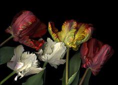 Tulipanes. Carmen Van den Eynde
