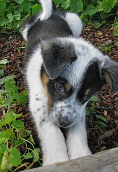 Had a Border Collie/Aussie Shepherd mix who looked similar to his little one, even when grown. Was the best dog we ever had. Great with kids!